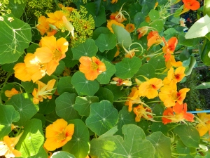 Nasturtiums Growing In My Garden
